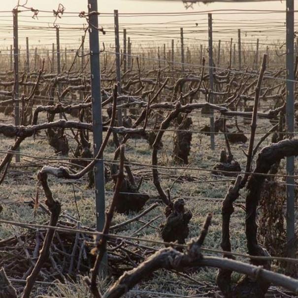 Cepas de Pinot noir en invierno
