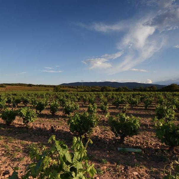 Viñas familiares en Hornos de Moncalvillo para su vino El Pedal