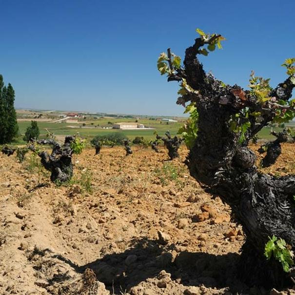 Muestra del viñedo de Bodegas Tridente