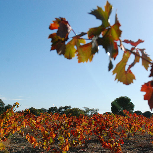 Vista de la viña.