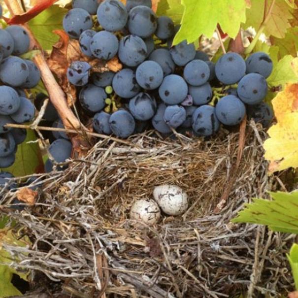 Racimo y nido
