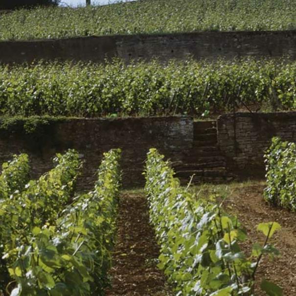 Viñedos típicos de Borgoña