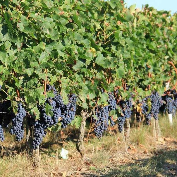 Viñas de Château Chasse-Spleen