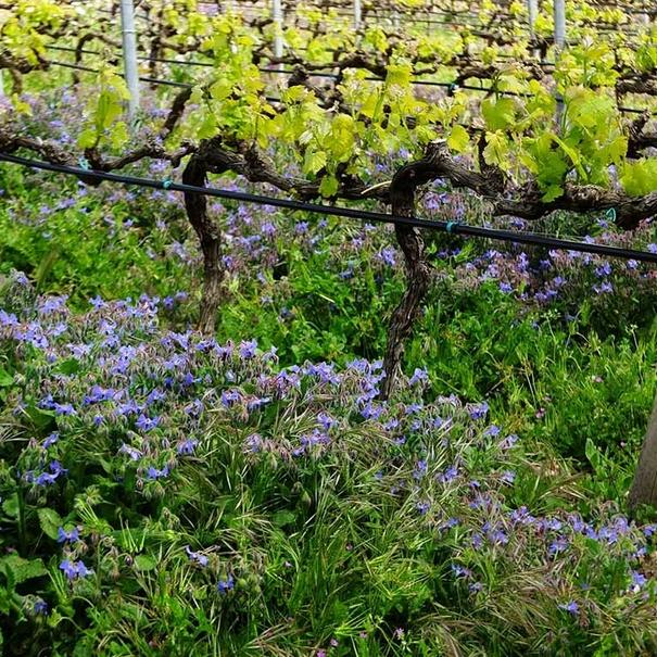 Dellates de los viñedos sicilianos