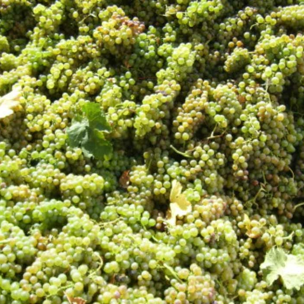 Uvas tras la vendimia