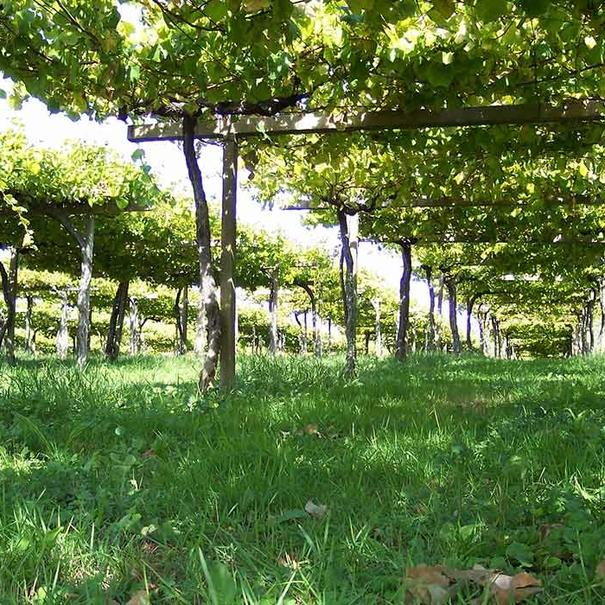 Viñas con cubierta vegetal