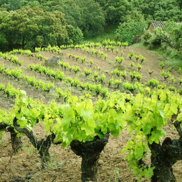 El viñedo en la zona de Gredos