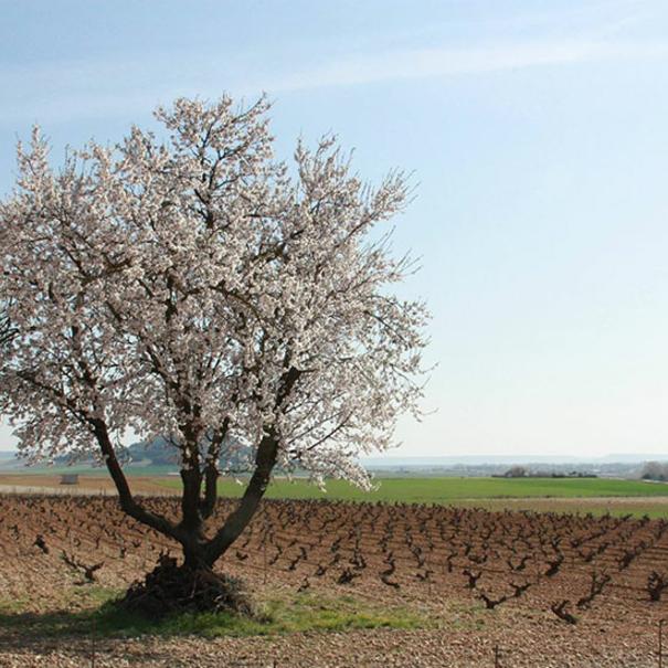 Panorámica del viñedo en primavera