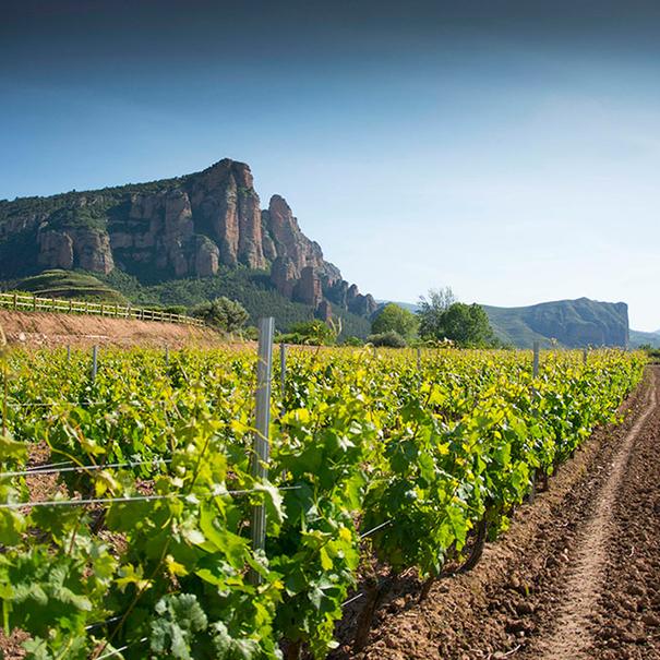 Camino junto a los viñedos