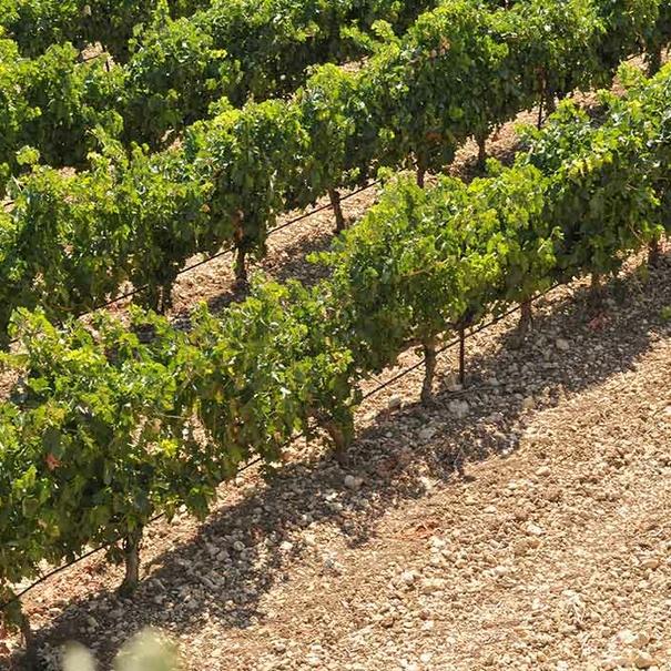 Viñas de Tempranillo