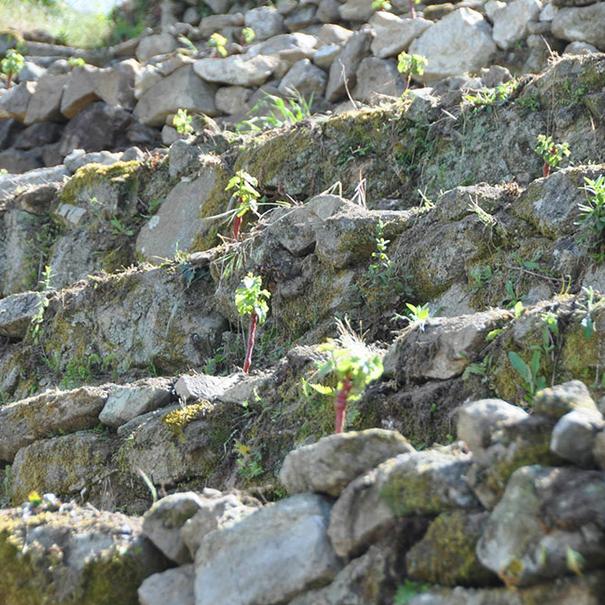 Plantación de Merenzao