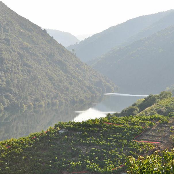 Detalle de los viñedos en pendiente