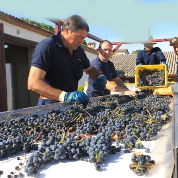 Selección de las uvas