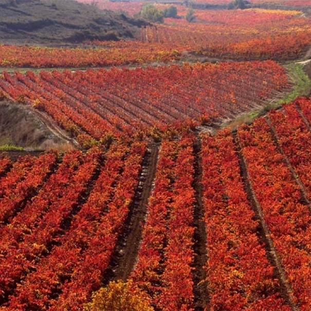 Viñas de Bodegas Sonsierra en otoño