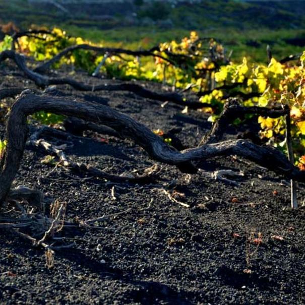 Viñedos en suelo volcánico