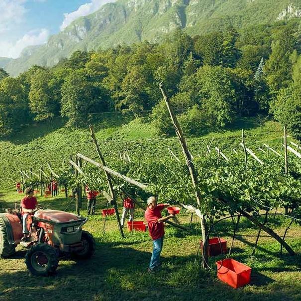 Trabajos en viñedo