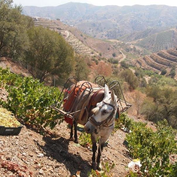 Viñedos de Botani, que se trabajan con fuerza animal