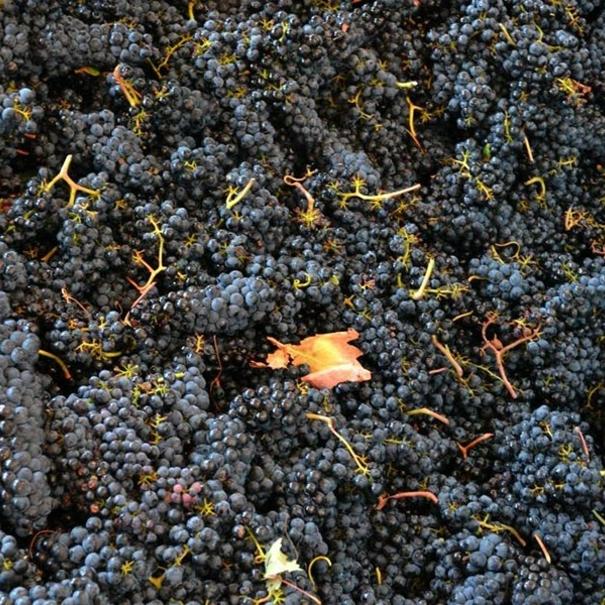 Recepción de la uva en bodega
