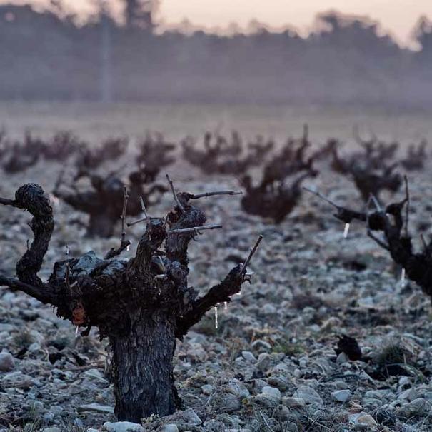 Lloro de las viñas