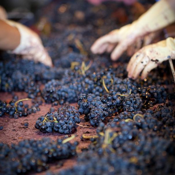 Recepción de la uva